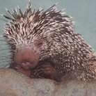 Picture - Hedgehog at the Zoo in Seattle, Washington.