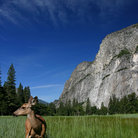 Picture - Deer in Yosemite National Park.