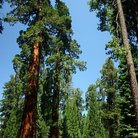 Picture - Mariposa Grove in Yosemite National Park.