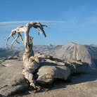 Picture - Jeffrey Pine at summit of Sentinel Dome, Yosemite National Park.