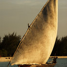 Picture - Fishermen in sailboats going out to sea at sunset on Zanzibar Island.