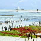 Picture - Seaweed farm at the East Coast of Zanzibar.