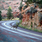 Picture - A big horn sheep in Zion National Park.