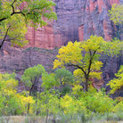 Picture - Yellow leaves in Zion National Park.