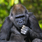 Picture - A chimpanzee at the Miami Metrozoo.