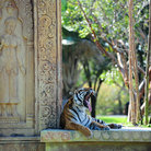 Picture - A tiger in an enclosure at the Miami Metrozoo.