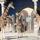 Picture - Giraffes at the Zoological Gardens in Berlin.