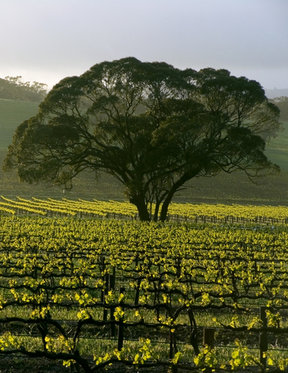 Picture - Landscape of the Barossa Valley.