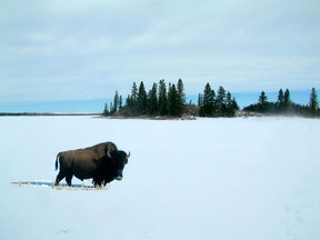 Picture - A bison in Elk Island National Park.