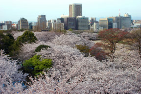 Picture - Cherry blossoms in the spring at Fukuoka City.