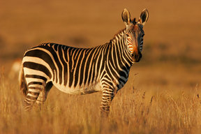 Picture - A zebra at Mountain Zebra National Park.