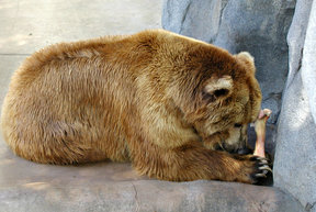 Picture - Bear at the San Diego Zoo.
