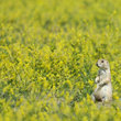 A black-tailed prairie dog in a field of yellow mustard plants in North Dakota.