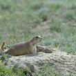A black-tailed prairie dog outside his burrow in North Dakota.