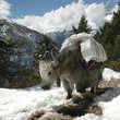A yak carrying a load in the Himalayas.