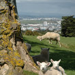 Sheep in Cornwall Park, Auckland.