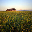 Barn surrounded by canola field, Montana.