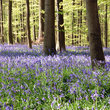 Bluebells in the forest at Hallerbos near Brussels.