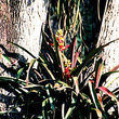 Bromelia growing in crook of tree on Península de Paria.