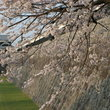 Cherry blossoms at the Castle in Kumamoto.
