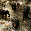 Elephants bathing in Chiang Mai.