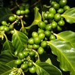 Close-up of a coffee plant on Kona Island.