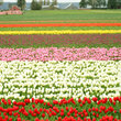 Colorful tulips on on Skagit Valley farm in Washington.