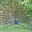 Peacock showing off in Sheikh's Palace garden in Dubai.