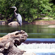 Great Blue Heron on a Log in Virginia.