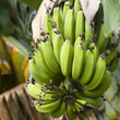 Green bananas growing in Hawaii.
