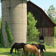 Horses grazing in front of rustic barn and silo, Wisconsin.