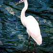 A great white heron stands in shallow water.