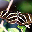 Close up of the Florida state butterfly, a zebra longwing (Heliconius charitonius).