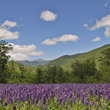 Lupine field in Mountains of New Hampshire.