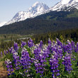 Lupines against Paradise Valley, Alaska.