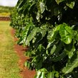 Lush coffee plants on Kona Island.