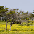 Oak Trees in a Pasture with Yellow Wildflowers in South Carolina.