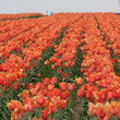 Orange tulips growing in Woodburn, Oregon.