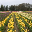 Rows of tulips growing in Woodburn, Oregon.