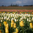 Rows of tulips growing on a tulip farm, Oregon.