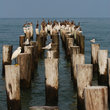 Sea birds perched on wood pilings.