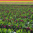Sea of tulips on Flower Farm in Skagit County, Washington.