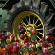 Tractor wheel surrounded by flowers in Woodburn, Oregon.