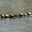 Turtles on a Log in Southern Illinois.