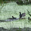 Two male Common moorhens in the Wakodahatchee Wetlands.