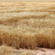 Wheat ready for harvesting in Oklahoma.