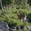White-tailed deer on a lake, Maine.