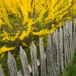 Wooden picket fence and forsythia at a pioneer farm in Tennessee.