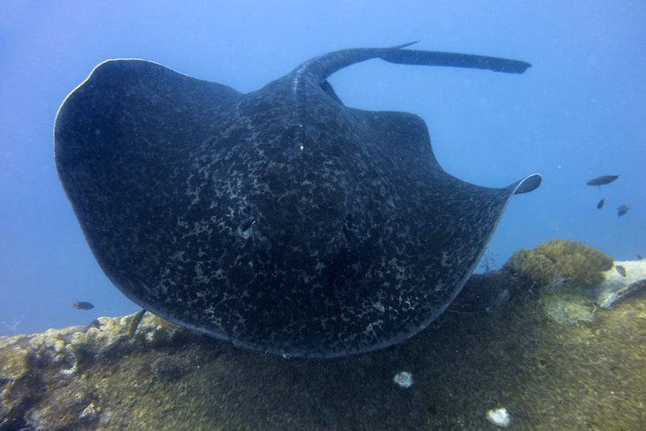 Round ribbontail ray on the SS Yongala wreck