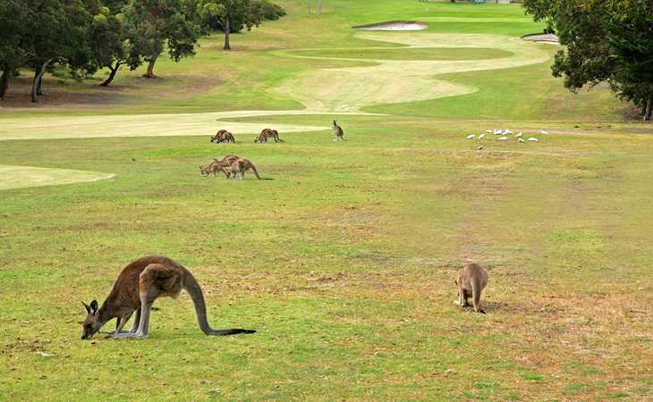 Golfing with Kangaroos
